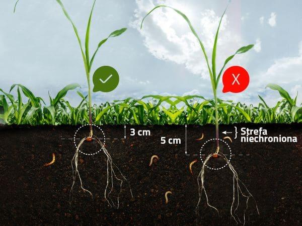 nasiona-kukurydzy.jpg