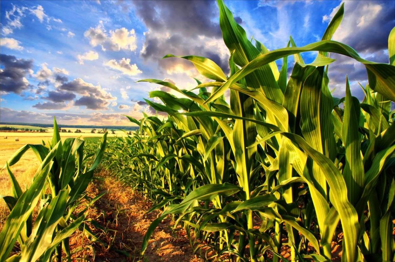 odmiany-kukurydzy.jpg