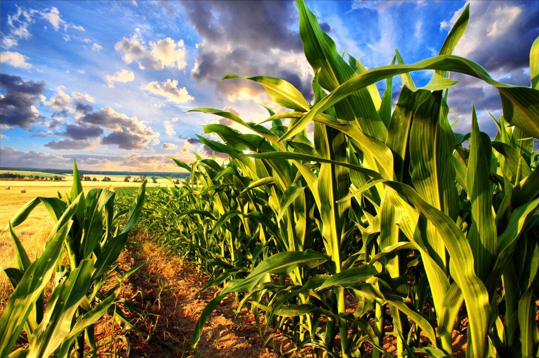 Zaprawianie materiału siewnego kukurydzy kluczem do sukcesu