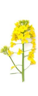 rzepak-kwiat.jpg